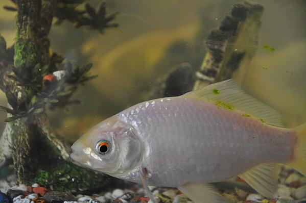 Foire aux questions pourquoi les poissons rouges for Nom poisson rouge