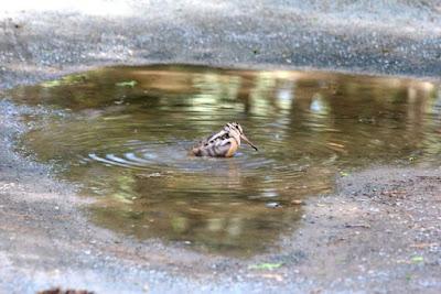 woodcock driveway birdbath 3 (getting tush clean)