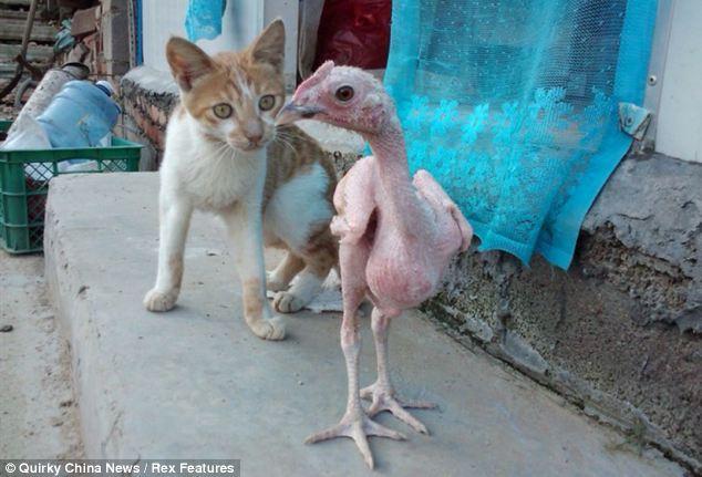 Foto Ayam Lucu dan Unik