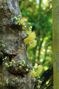 Rainforest tree, with cauliflory