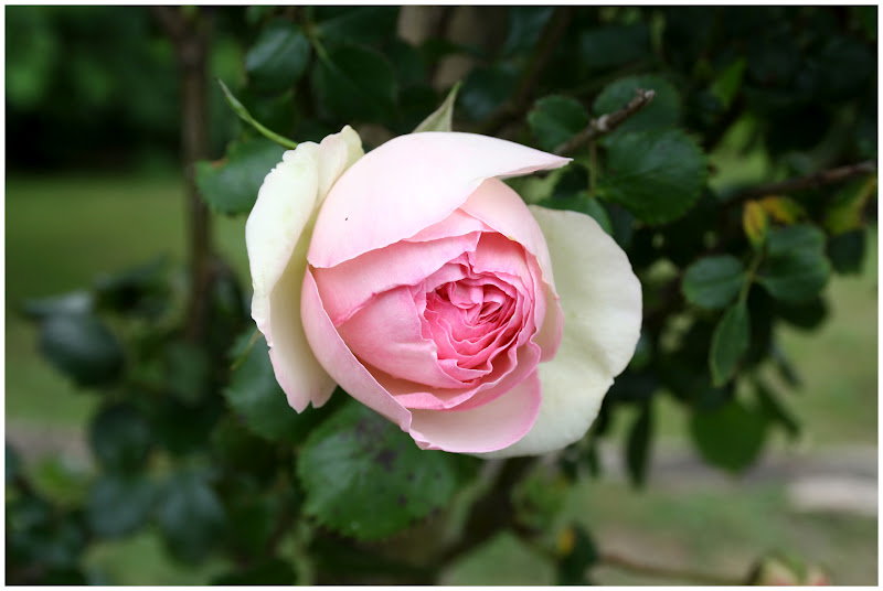 Rosal trepador pierre de ronsard for Viveros el rosal