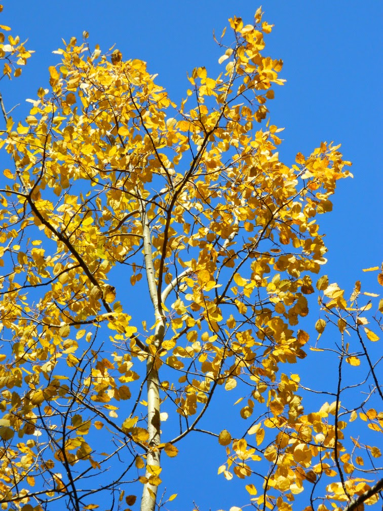 Populus tremuloides Trembling poplar fall foliage Taylor Creek Park by garden muses-not another Toronto gardening blog