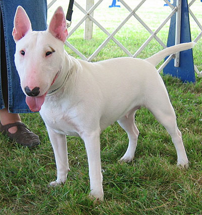 Razas: Bull terrier ingles | Todo sobre perros | Razas de perros ...