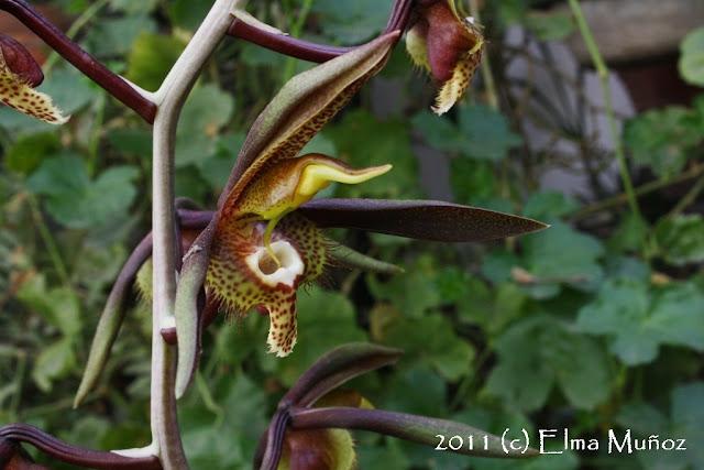 Catasetum saccatum