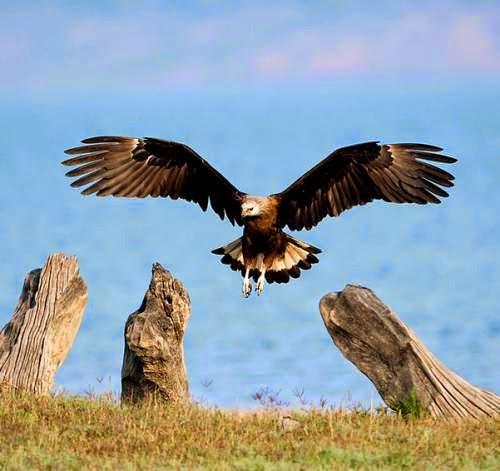 Indian birds - Image of Pallas's fish eagle - Haliaeetus leucoryphus