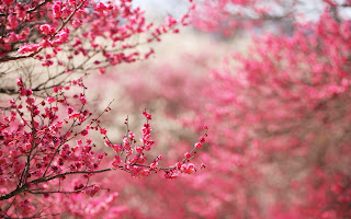 Pink Cherry Blossoms Blured Photography HD Wallpaper
