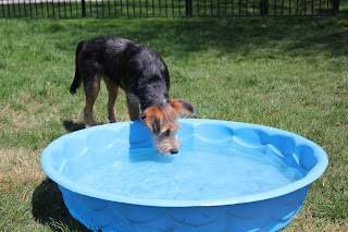 A dog considers a swimming pool. Maybe it's a giant water dish?