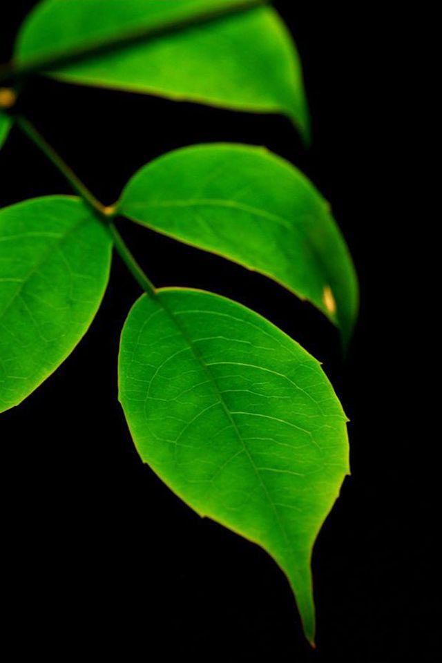 Download Free High Quality Green Leaf Cell Phone Wallpaper For Iphone