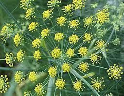 Fennel Plant Benefits for Health