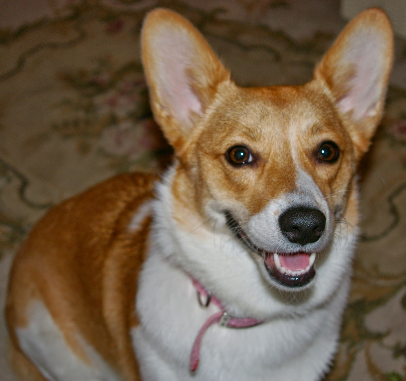 http://corgipals.org/Fundraisers/HelpingPaws/Lucy2.aspx