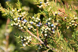 partially ripe eastern red cedar juniper berries