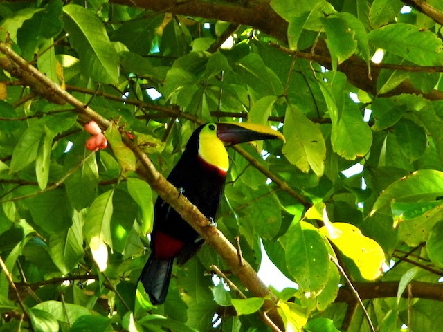 a Toucan in Costa Rica