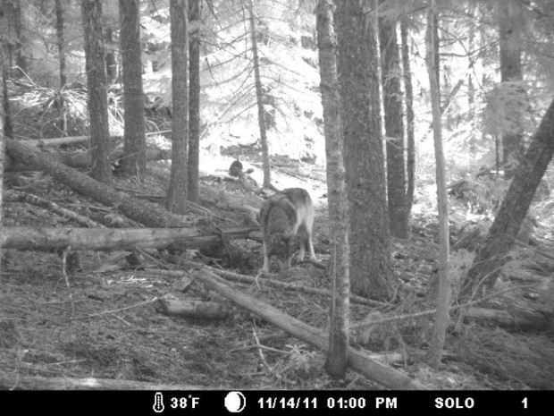 Oregon wolf(or7) photographed on trailcam in northern california