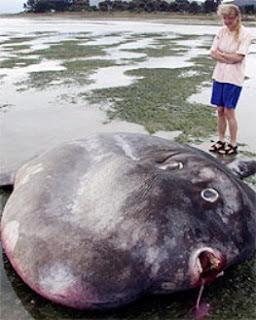 International fishing news 2013 03 for World largest fish