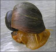 genetic diversity of golden apple snail Two species of apple snails, pomacea canaliculata and pomacea maculata the genetic diversity of invasive invading herbivory: the golden apple snail alters.