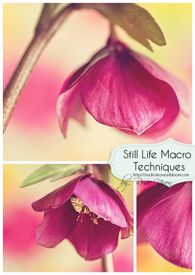 lenten rose still life macro techniques by Rosie Nixon