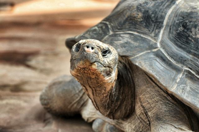 Tortuga octogenaria de las Galápagos