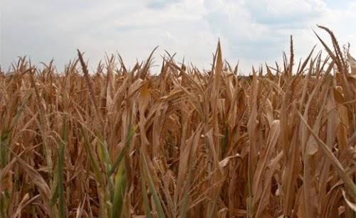 Heat waves and water shortages could devastate U.S. farmlands devoted to corn crop, a report warns. (Credit: Jane/flickr) Click to enlarge.