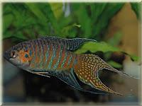 Paradisefish Pictures