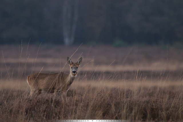 Roe Deer in soft light