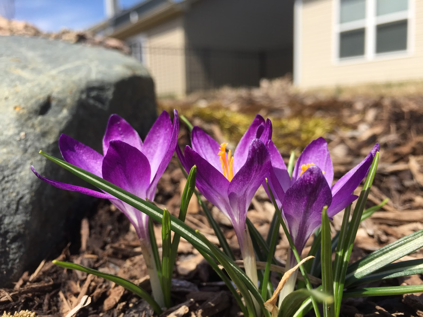 free crocus photos
