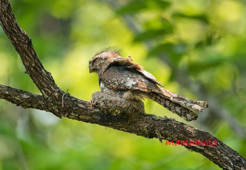 Hodgson's Frogmouth (Batrachostomus hodgsoni)