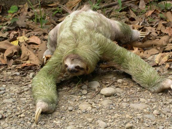 Sloth Rare South American Mammal Funnilogy