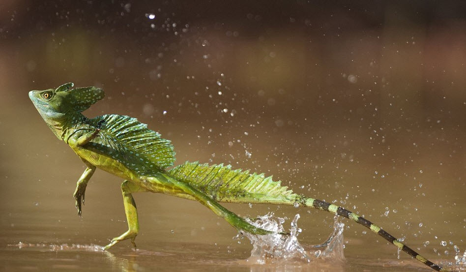 Plumed basilisk the biggest animals kingdom for Water lizard fish