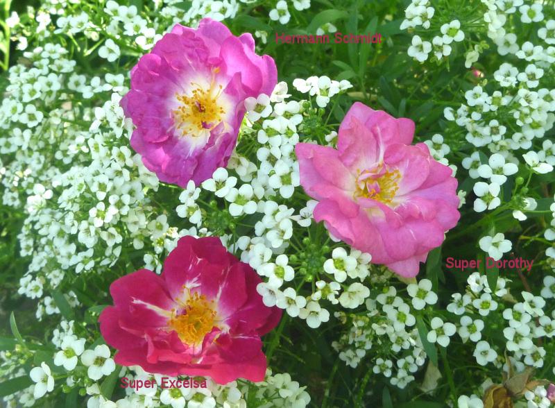 Klettergerüst Rosen : Meine grüne leidenschaft: drei romantische rosen