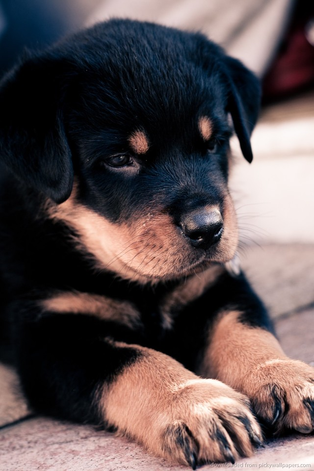 How much is rottweiler puppy