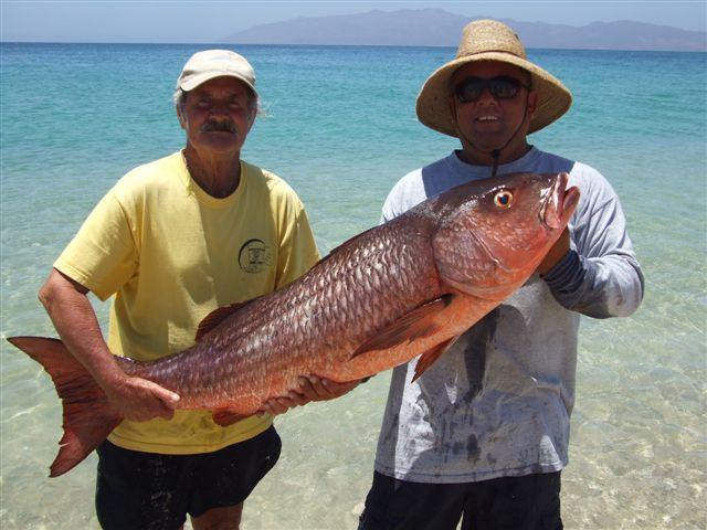 Big fishes of the world snapper mullet lutjanus aratus for Pictures of mullet fish