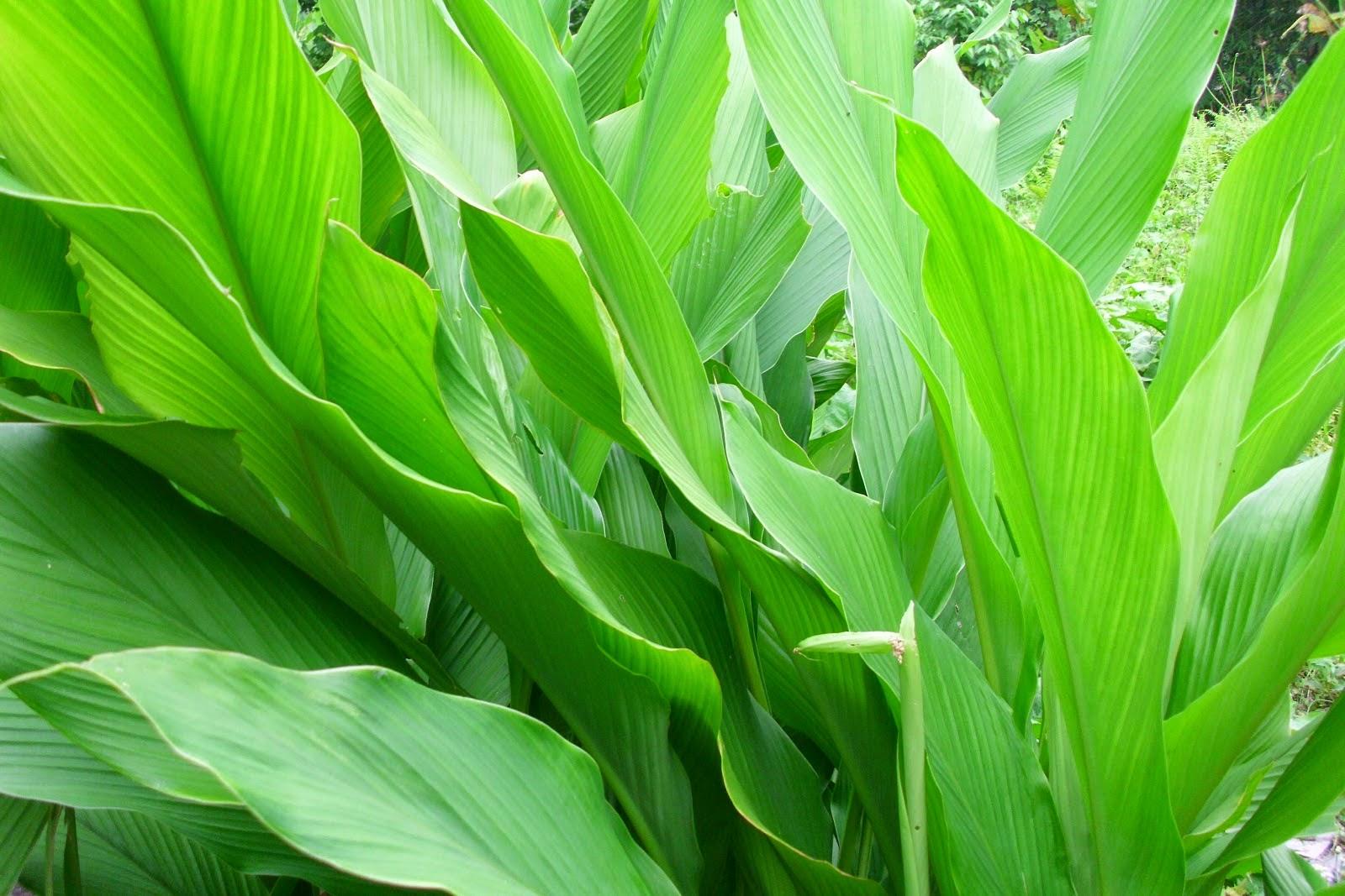 Turmeric medicinal plants