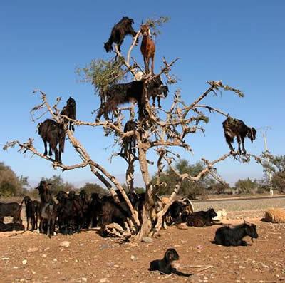 Fenomena Kambing Memanjat Moroco