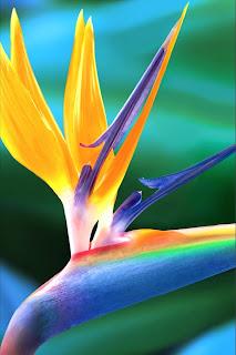Papel de Parede Bird of Paradise / Ave do Paraíso - 3,5 polegadas