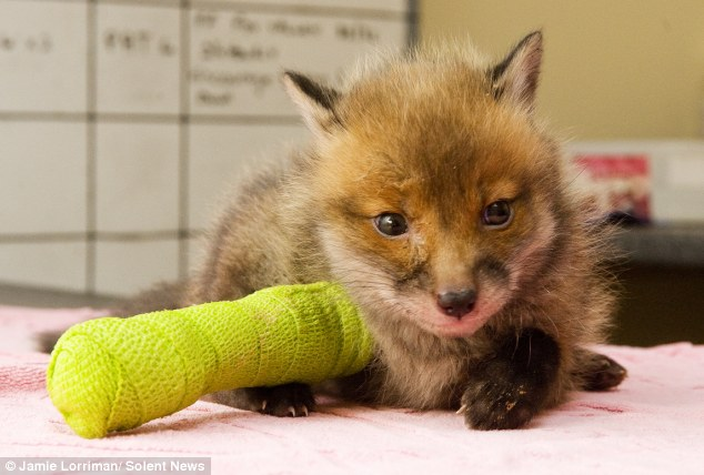 Baby fox found abandoned in Surrey town centre with broken leg