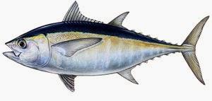 Kandungan Gizi dan Nutrisi Pada Ikan Tuna