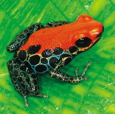 Megapost las ranas mas venenosas del mundo