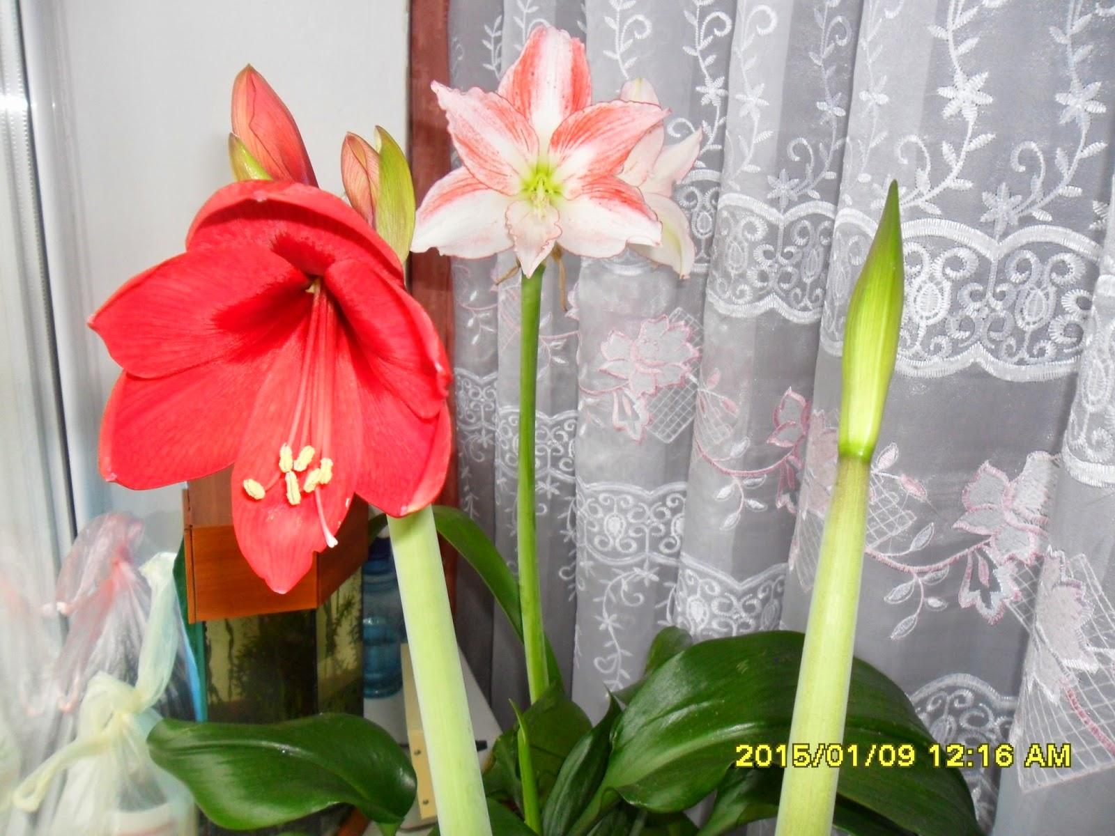 Какие цветы расцветут к 8 марта на подоконнике сколько стоит купить розы