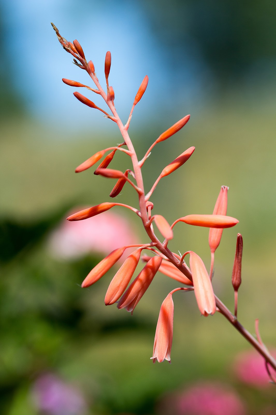 Aloe bellatula - Flowers
