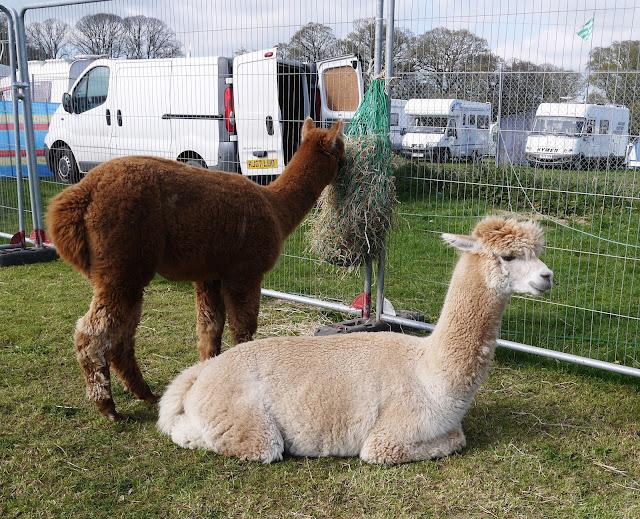 Alpacas at Abbey Hill Steam Rally