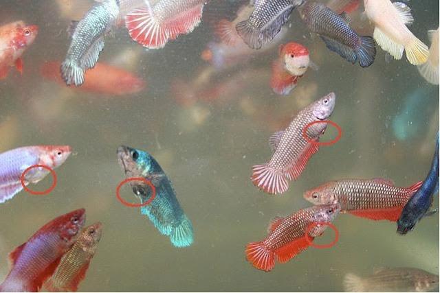 Nice betta for Girl betta fish