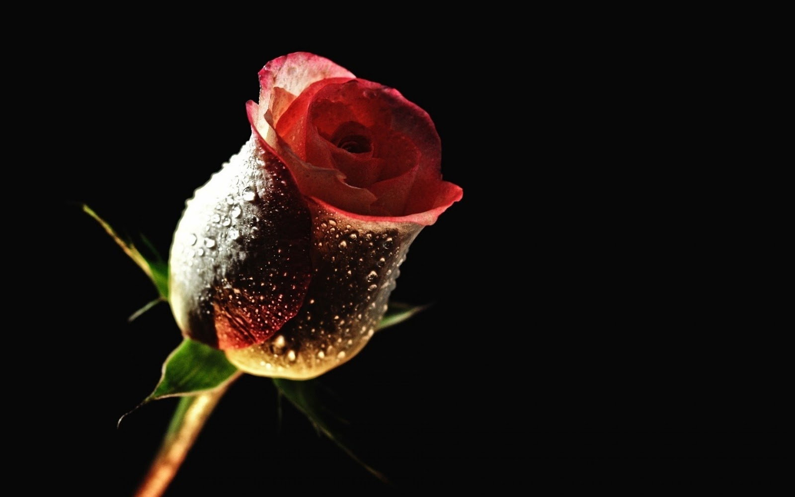 Black Red Rose HD Image wallpaper