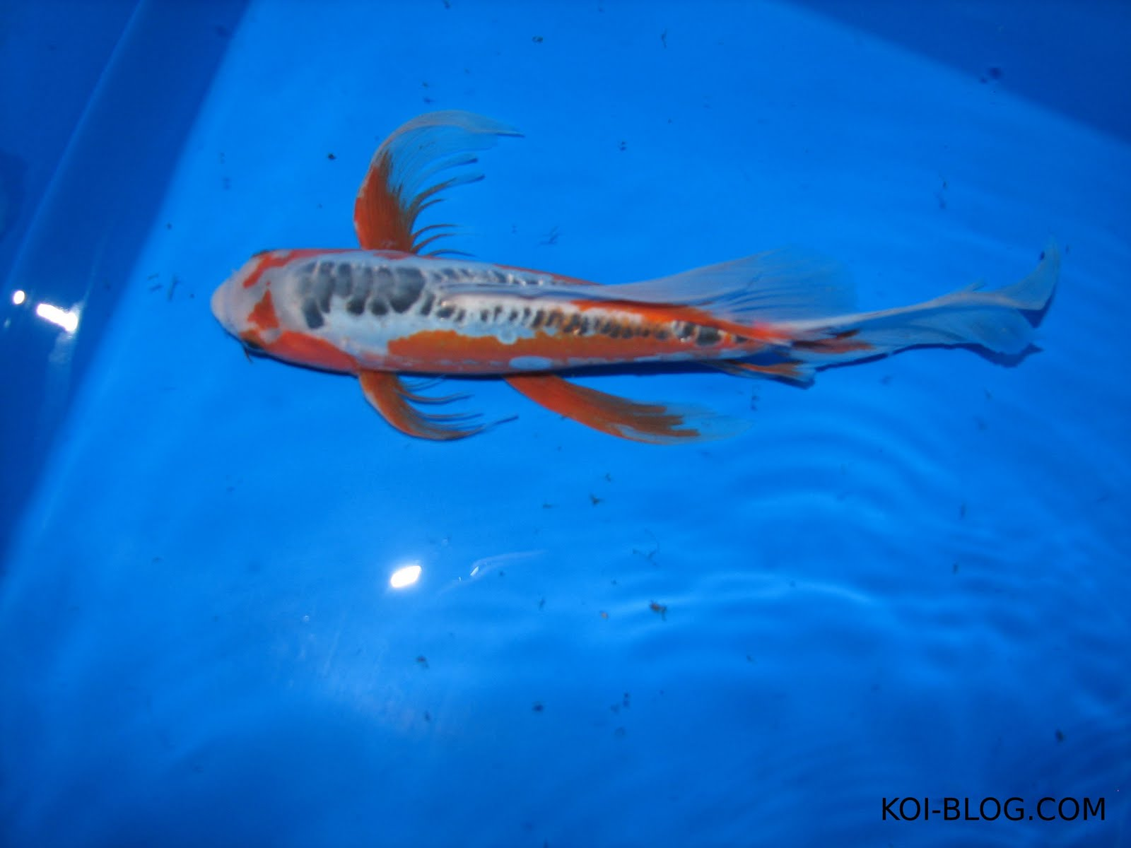 Koi blog the meaning of koi fish for Keeping koi carp