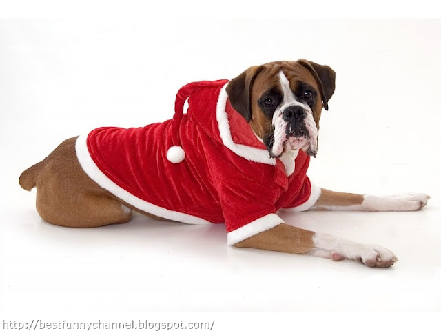 Funny dog in Christmas costume.