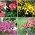 Rhododendron / Alppiruusut