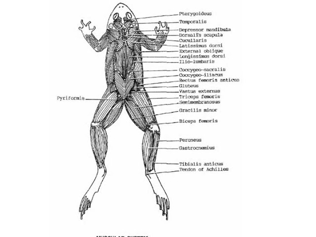 Muscular System Of A Frog