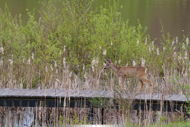 Ree op vlonderpad - Roe Deer on wooden walkway - Capreolus capreolus