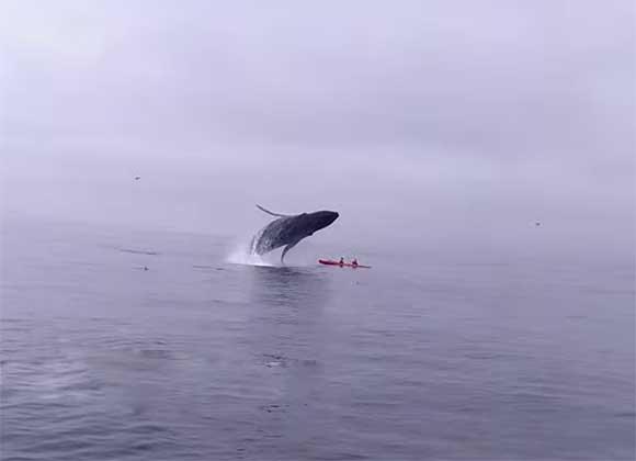 Ballena gigante por poco aplasta a una pareja en su kayak