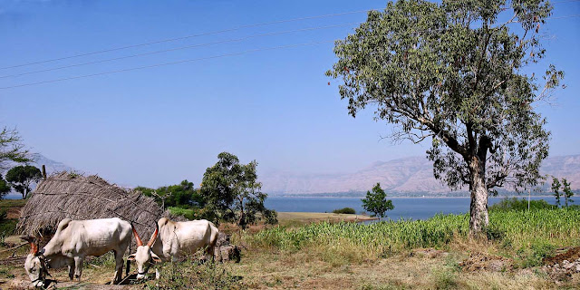 serene country scene with bullocks and hills
