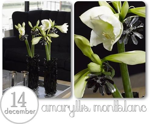 montblanc amaryllis, vit amaryllis, dekorerad amaryllis, modern amaryllis, amaryllis svart och vit